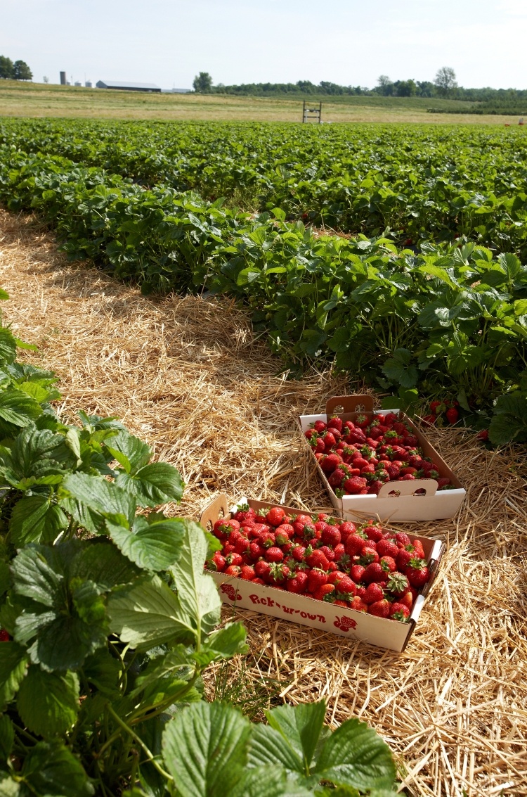 berries in field 1